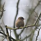""" Inquisitive Wren "" by Richard Couchman"