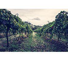 A Vineyard Photographic Print
