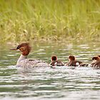 Common Merganser and Brood in Alaska by Robert Kelch, M.D.