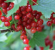 Redcurrant Close Up by Harald Ole Hansen