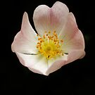 Floating Rose by MichelleRees