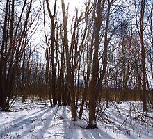 Wintertime At Sheldon Marsh - Sunlit Trees by SRowe Art