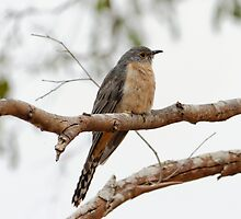 Fan-tailed Cuckoo (Cacomantis Flabelliformis) by Matthew Hockley