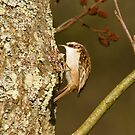 Tree Creeper by Jon Lees