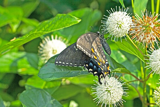 Tiger Swallowtail Butterfly On Buttonbush - Dark Phase - Papilio glaucus by MotherNature2