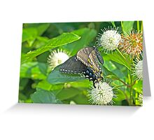 Tiger Swallowtail Butterfly On Buttonbush - Dark Phase - Papilio glaucus Greeting Card