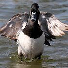 Ring Neck Duck with Angel Wings by LisaThomasPhoto