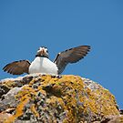 Puffed Up Puffin by Anne Gilbert