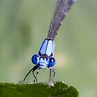 Bluet Damsel Fly Looking at You by Kenneth Keifer