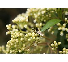 Lime Green Fly Photographic Print