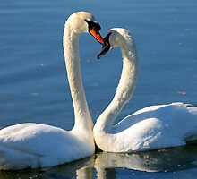 Swan Love by LisaThomasPhoto