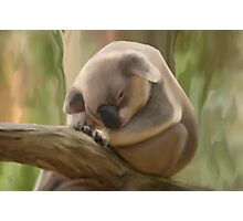 Koala Bear Alma Park Photographic Print