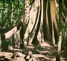 The Magnificent Strangler Fig Tree by john NORRIS