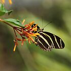 Zebra Longwing Butterfly (Heliconius charitonius) by Mike Fischetti