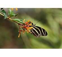 Zebra Longwing Butterfly (Heliconius charitonius) Photographic Print