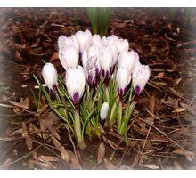 Spring bloom Photographic Print