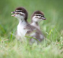 duckling song By Ken Killeen by KenKilleen