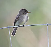 Tropical Pewee on Wire by hummingbirds