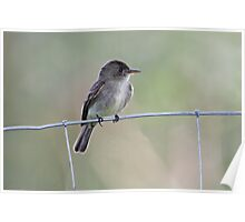 Tropical Pewee on Wire Poster