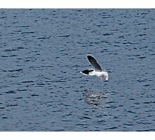 Little Gull Underwing Photographic Print