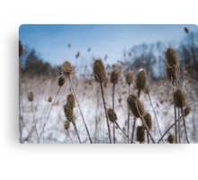 Spiky Things in Snowy Field Canvas Print
