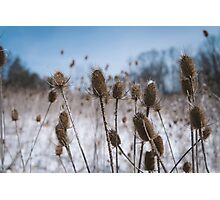 Spiky Things in Snowy Field Photographic Print