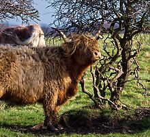 Highland Cattle and a gnarled tree by Violaman