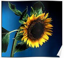 Sunflower on deep blue background Poster