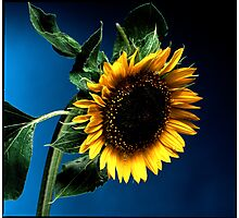 Sunflower on deep blue background Photographic Print