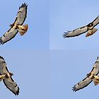 Red-tailed Hawk by Kane Slater