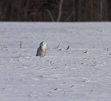Snowy Owl InThe South Field by Thomas Young