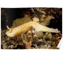 Ceratosoma brevicaudatum, Fly Point, Port Stephens Poster