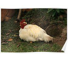 Free Range Chicken on Grass Poster
