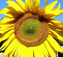 A Very Big Sunflower by stevealder