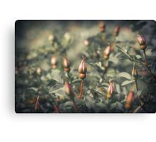 Unblown Rose Bush Canvas Print