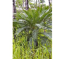 Northern Territory Cycad Photographic Print