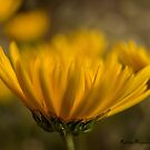 Simply Yellow by KatMagic Photography