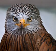 Black Kite by Krys Bailey