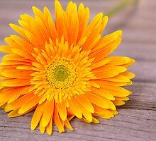 Rustic Orange Gerber Daisy by daphsam