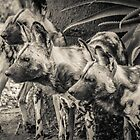 One of the Pack - Werribee Zoo by Andrew Dodds