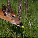Spring is here! White-tailed deer by Jim Cumming