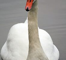 Swan by Chris Dykes