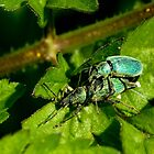 Green Nettle Weevil by Kawka
