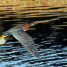 Green Heron in Flight by George I. Davidson