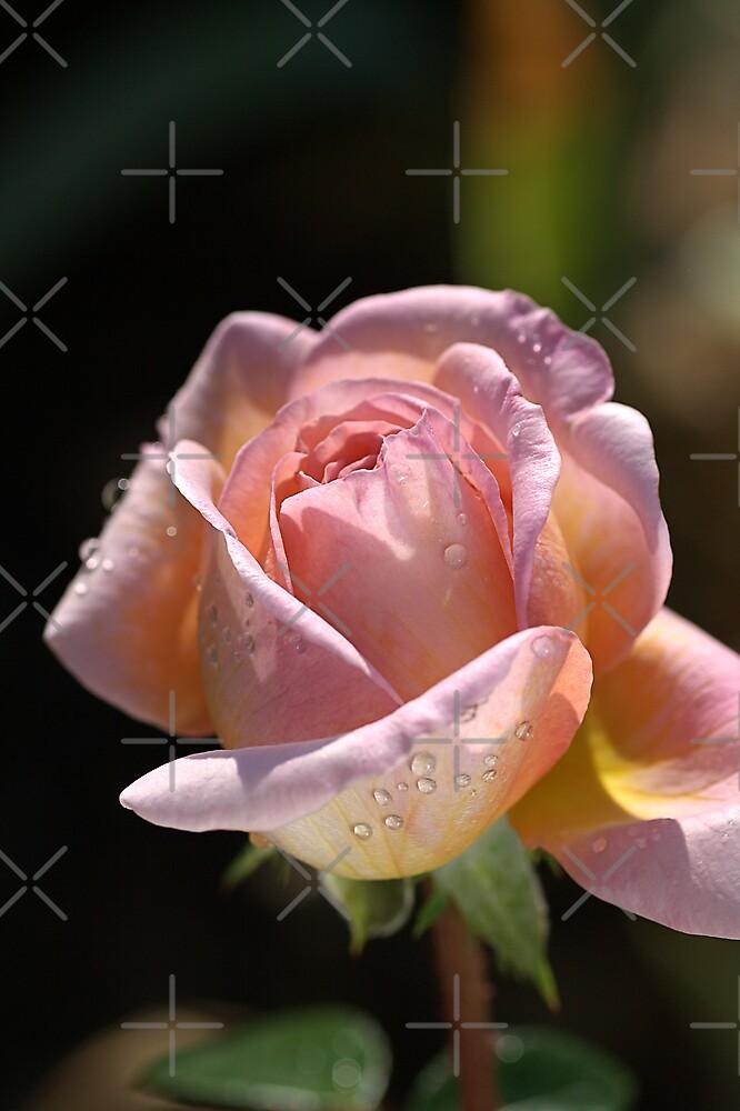 Glowing Rose Bud by Joy Watson