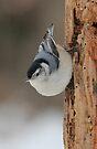 Little Sidewinder! by NatureGreeting Cards ©ccwri