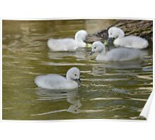 Baby goslings Poster