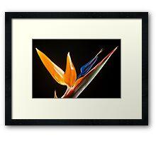 Strelitzia Flower Framed Print