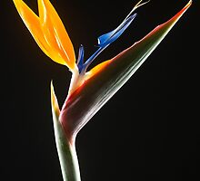 Strelitzia Flower by emirali kokal