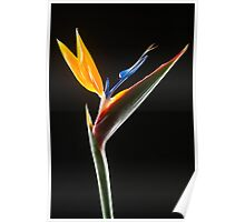 Strelitzia Flower Poster